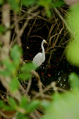 A heron stays hidden among the mangroves.