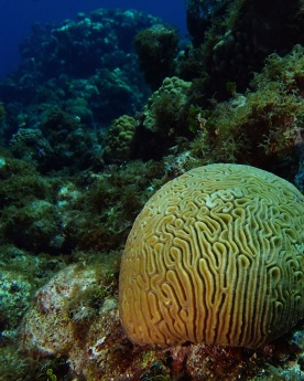 Brain coral the size of a VW Bug in Grand Caymans.