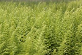 Waving ferns