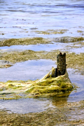 Tangled on a post, seaweed drifts along the coast of Puerto Rico.